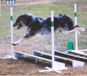 dog jumping over a broad jump